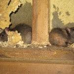 muizen en ratten 5